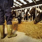 Agriculteur nourrit ses vaches