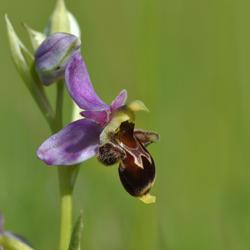 orchidee sauvage sud ouest
