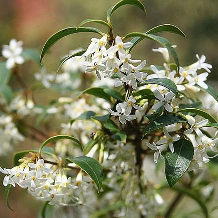 Arbre fleurs blanches liste ooreka - Arbuste a petites fleurs blanches ...