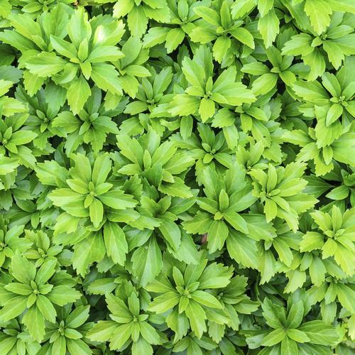 plante aquatique couvre sol