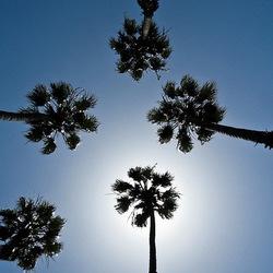 7 palmiers rustiques