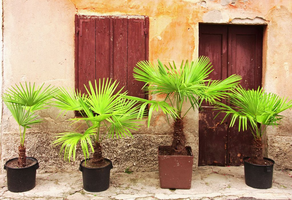 Palmier en pot ext rieur ou int rieur ooreka for Plante pot exterieur hiver