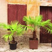 comment planter un palmier en pot ooreka. Black Bedroom Furniture Sets. Home Design Ideas