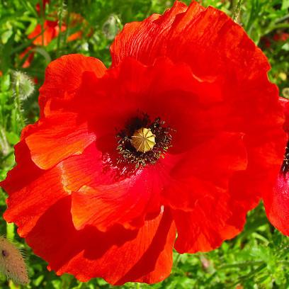 Plante rouge liste ooreka for Hibiscus exterieur rouge