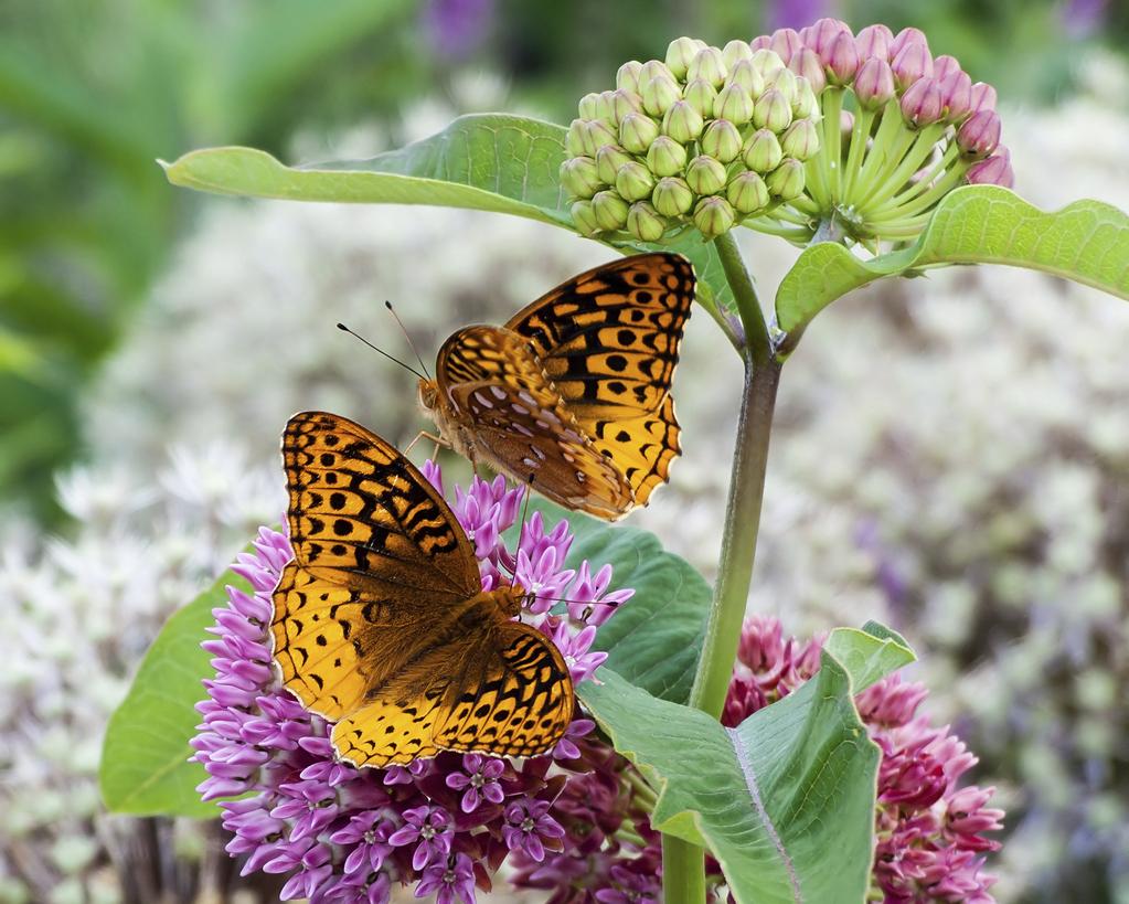 Les plantes à papillons
