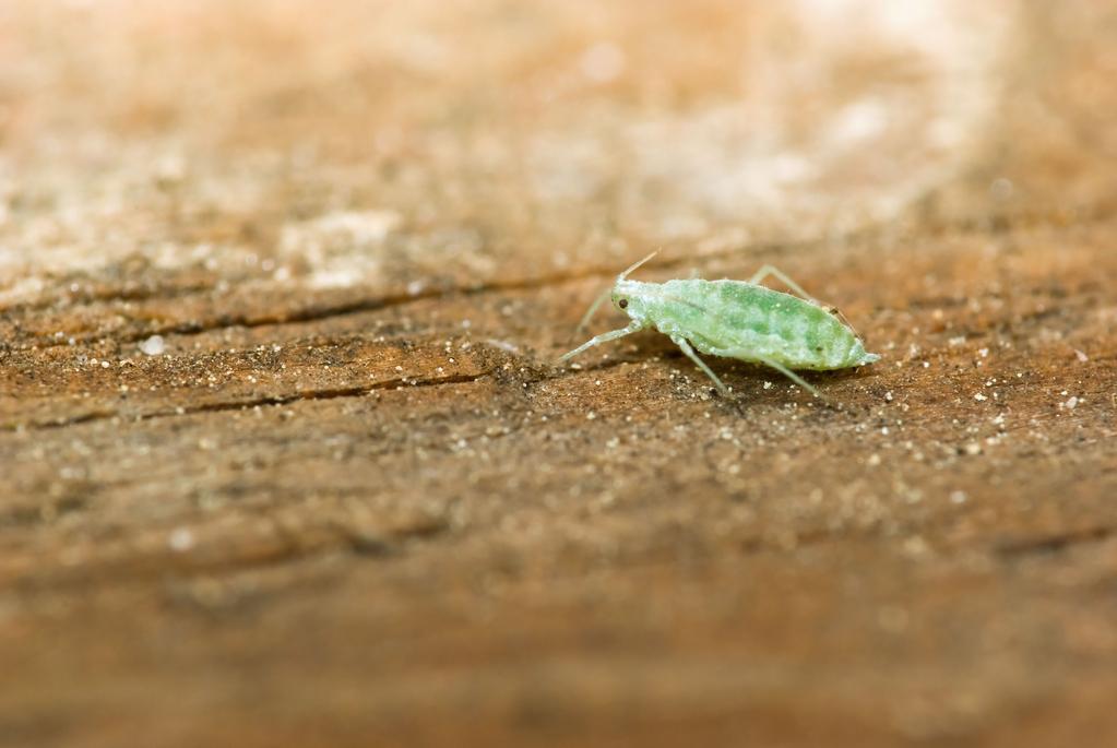 Insecticide du sol ooreka for Ver gris noctuelle