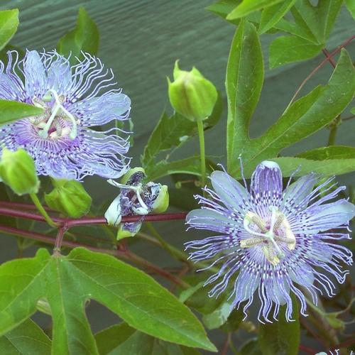 Plante à Fleurs Bleues : Liste