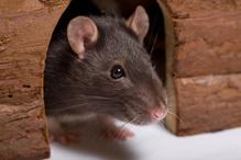 Anti rat
