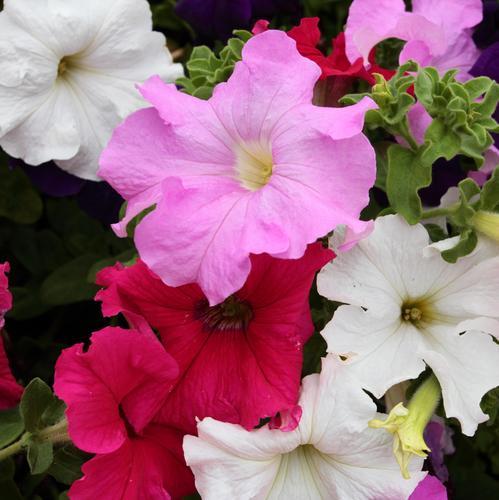 quelles fleurs planter en mai ? : liste - ooreka