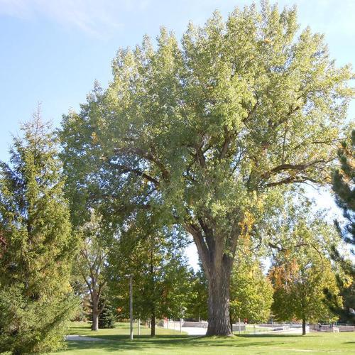 arbres à croissance rapide : liste – ooreka