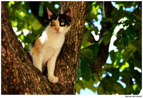 Phlébotome du chat