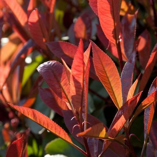 Arbuste rouge liste ooreka for Plante feuille rouge
