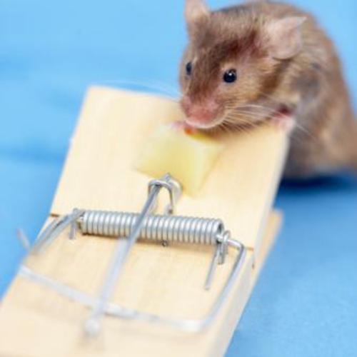 Se Débarrasser D Une Souris se débarrasser des souris - ooreka