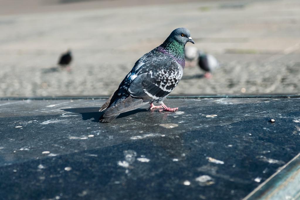 Fiente De Pigeon Risques De Maladies Ooreka