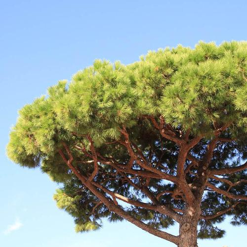 Liste des arbres parasols ooreka - Arbre ver a soie ...