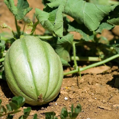 Reconnaître et traiter les maladies du melon
