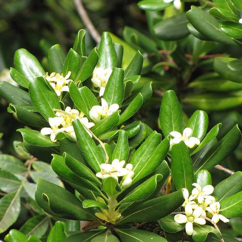 Arbre fleurs blanches liste ooreka - Citronnier feuilles jaunes ...
