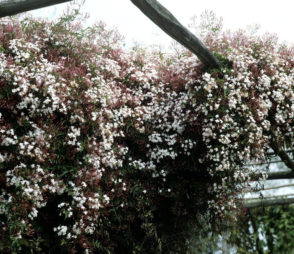 planter un jasmin officinal