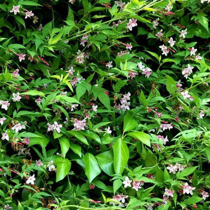 Jasmin rose Jasmin stéphanois (Jasminum stephanense)