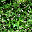 Jasmin stéphanois ( Jasminum stephanense )