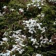 Jasmin rosé d'hiver ( Jasminum polyanthum )