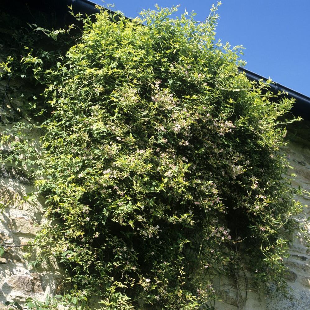 Jasmin rose Jasmin rose, ou nid d'abeilles, ou jasmin rouge (Jasminum beesianum)
