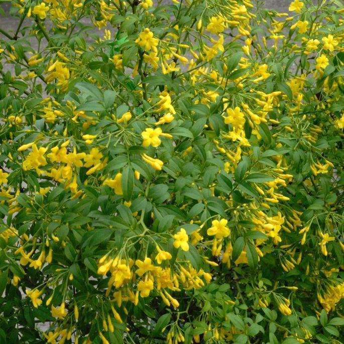 Jasmin jaune Jasmin d'Italie (Jasminum humile)