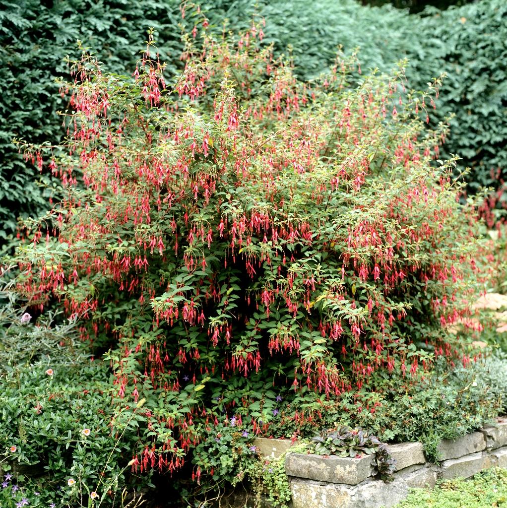 Fuchsia planter et tailler ooreka for Fushia plante interieur ou exterieur