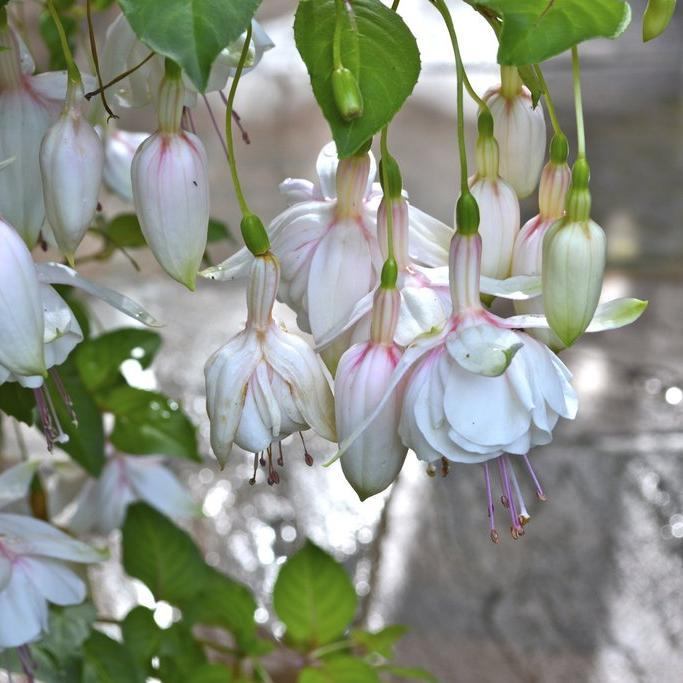 Fuchsias hybrides 'Annabel'