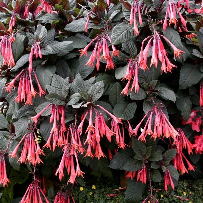 Arbustes Fuchsia fulgens