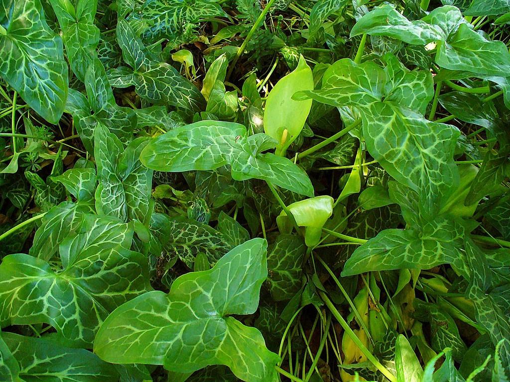 arum italicum : planter et entretenir – ooreka