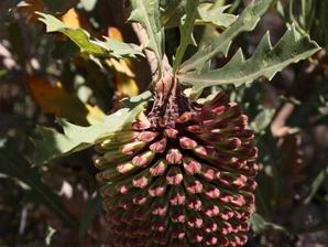 Multiplication du banksia