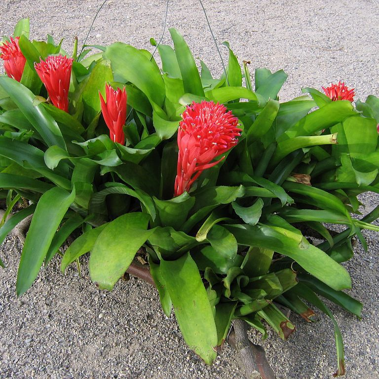 Billbergia pyramidalis Espèce type