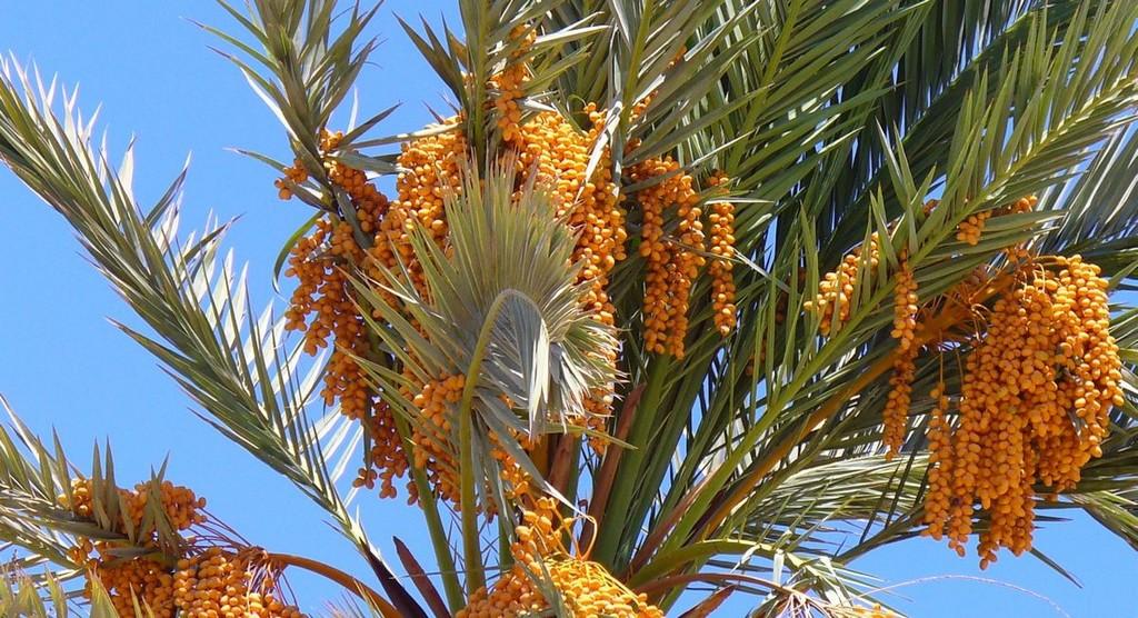 Dattier planter et entretenir ooreka - Fruit qui pousse sur un palmier ...