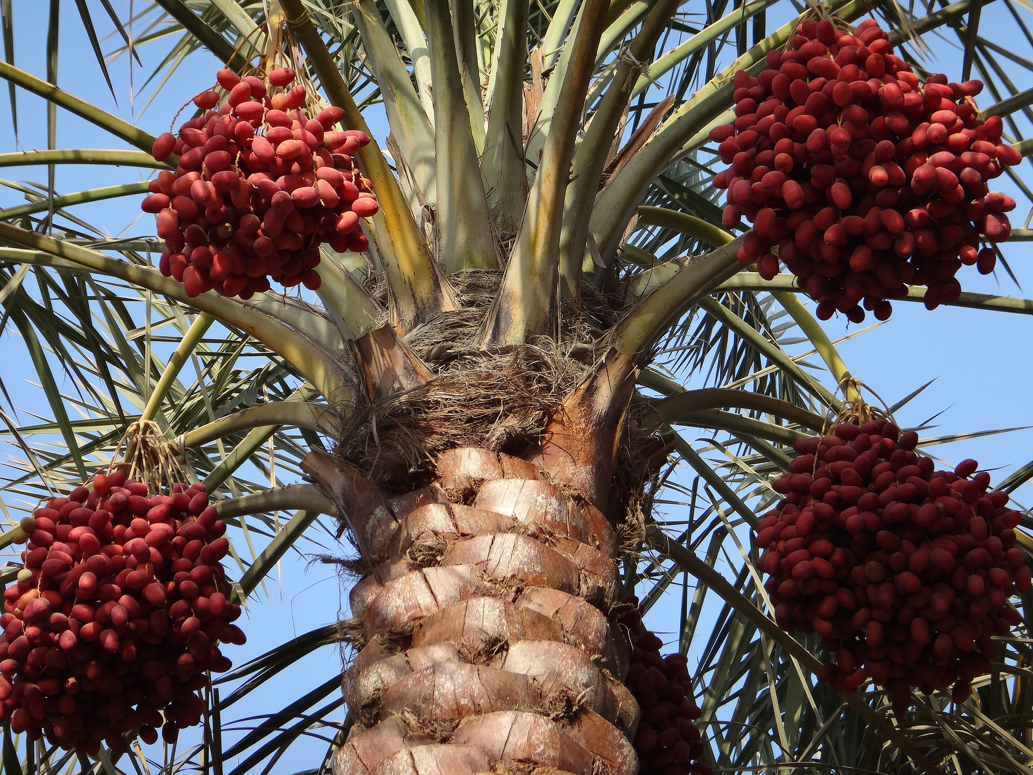 Dattier planter et entretenir ooreka for Palmier d exterieur resistant au froid