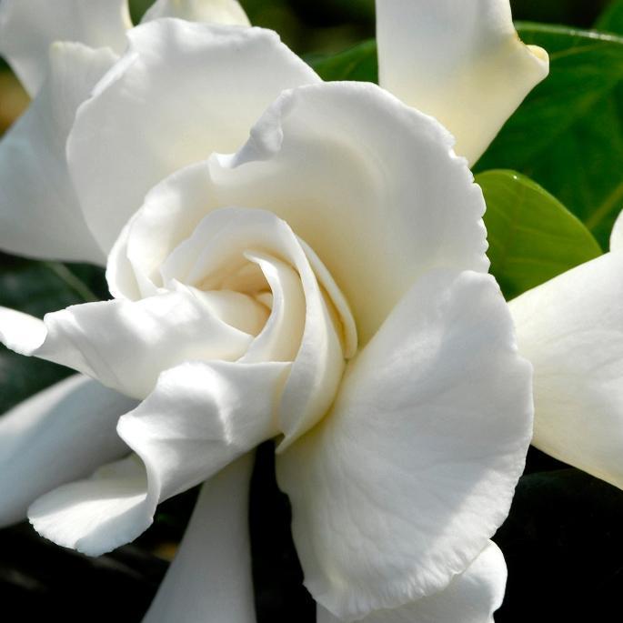 Jasmin du Cap (Gardenia jasminoides)