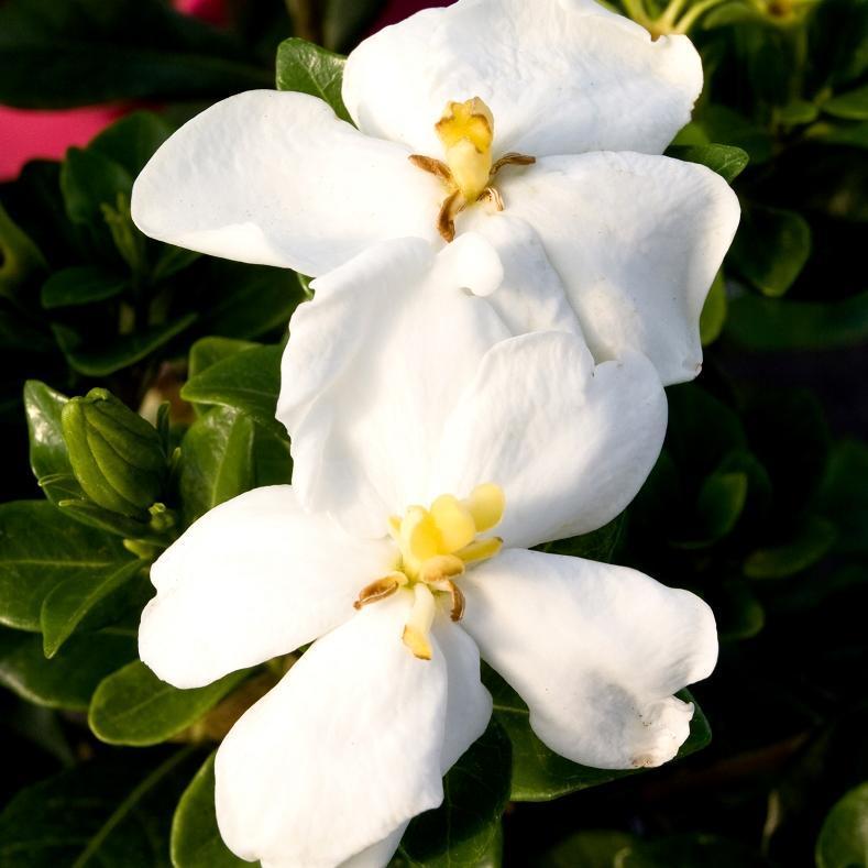Jasmin du Cap (Gardenia jasminoides) 'Kleim's Hardy'