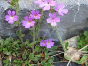 Semis et plantation de <em>Erinus alpinus</em>