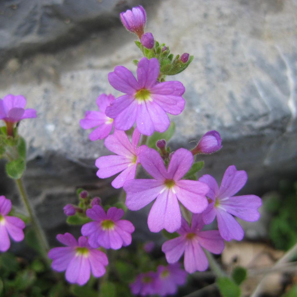 Érine des Alpes (Erinus alpinus) Espèce type