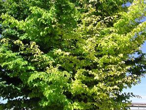 Plantation du <em>Parrotia persica</em>