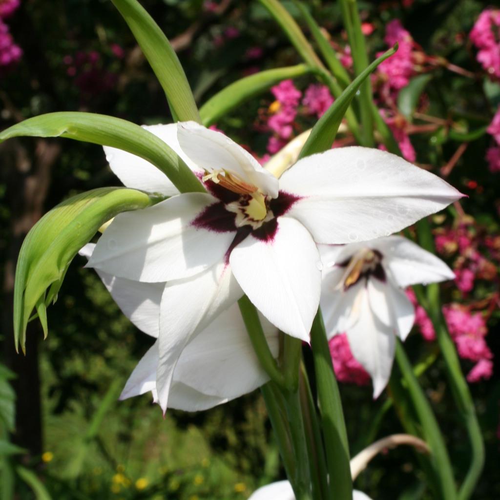Espèce botanique Glaïeul d'Abyssinie (Gladiolus murielae)