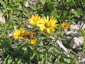 Plantation de <em>Buphtalmum salicifolia</em>