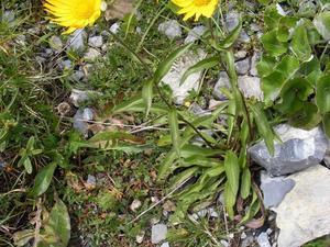 Culture et entretien de <em>Buphtalmum salicifolia</em>
