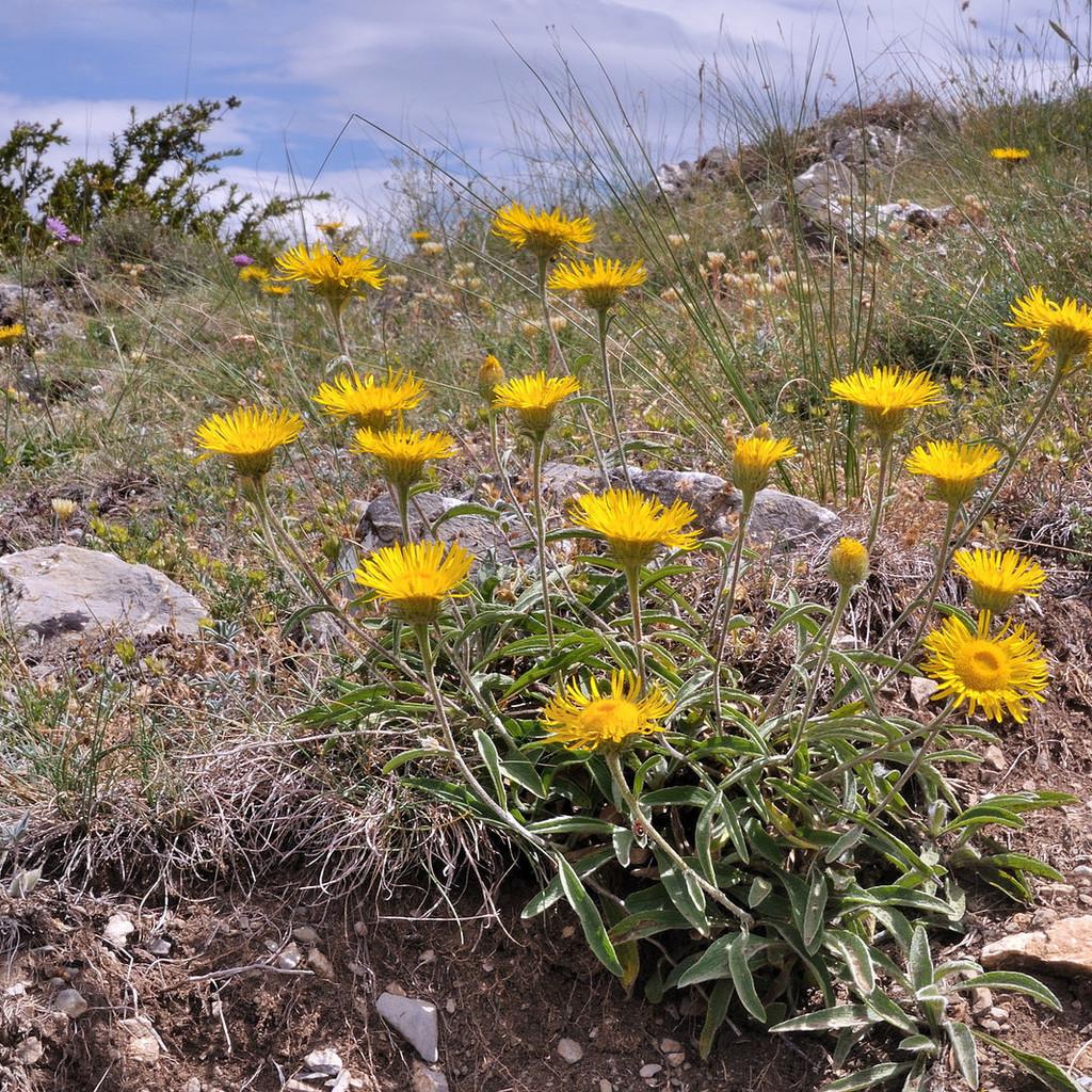 Buphtalmum salicifolia 'Alpen Gold'