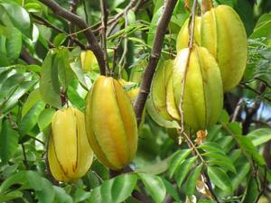Semis et plantation du carambolier