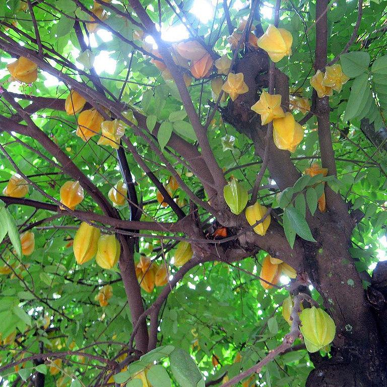 Averrhoa carambola Sri-Kembangan (cultivar d'origine américaine : Floride)