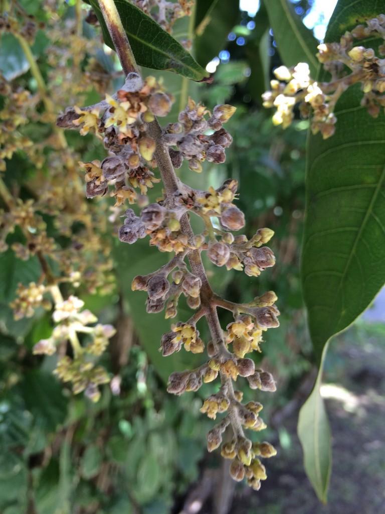 manguier   planter et cultiver  u2013 ooreka