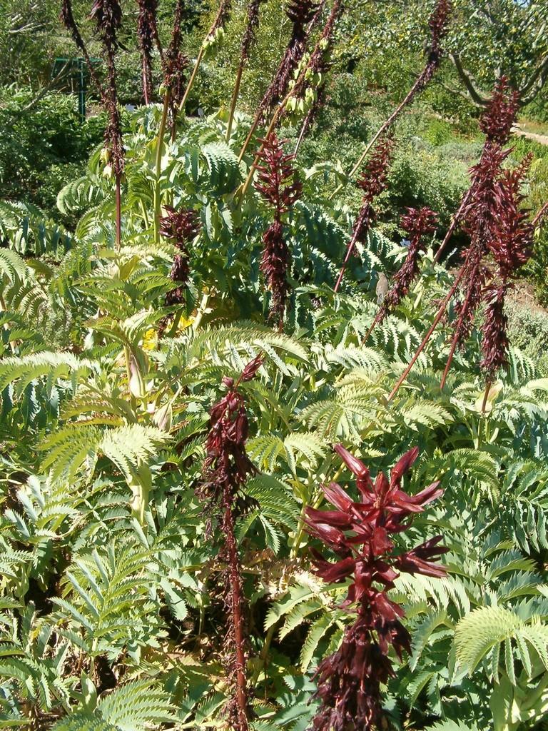 Melianthus planter et entretenir ooreka for Ou trouver de belles plantes artificielles