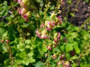 Culture et entretien de <em>Tellima grandiflora</em>