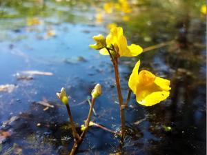 Semis et plantation d'<em>Utricularia</em>